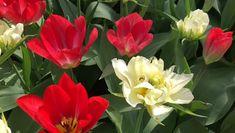 Planting Tulips, White Tulips, Fall Plants, Flowers Perennials, Garden Crafts, Spring Garden, Flower Seeds, Betty Boop, Garden Landscaping