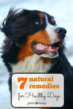 Home remedies for the natural dog - treat your dog at home and prevent health problems with these solutions  - like how to treat ear and eye infections, promote healthy teeth, deter fleas, and even help with flatulence! #ad #dogs