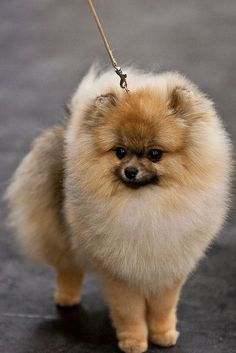 Marvelous Pomeranian Does Your Dog Measure Up and Does It Matter Characteristics. All About Pomeranian Does Your Dog Measure Up and Does It Matter Characteristics. Animals And Pets, Baby Animals, Cute Animals, Cute Dogs And Puppies, I Love Dogs, Jiff Pom, Cute Pomeranian, Pomeranian Haircut, Companion Dog