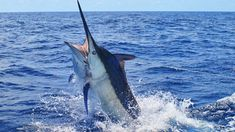 Choose The Best Bait For Blue Marlins While In Los Suenos http://gocostaricafishing.com/news/view/440/Choose_The_Best_Bait_For_Blue_Marlins_While_In_Los_Suenos.html?source=pi