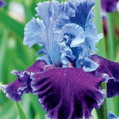 """Louisa's Song"" Fragrant Tall Bearded Iris -- and just look at those luscious colors."