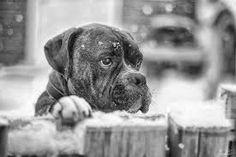"""Résultat de recherche d'images pour """"BOXER DOG IN THE SNOW"""""""