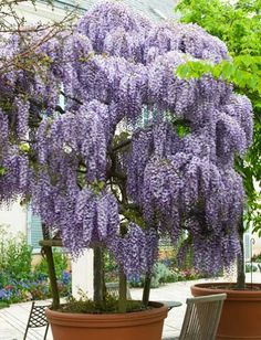 Purple Wisteria Tree for Sale - Brighter Blooms Nursery