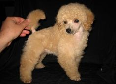 Wildwood Poodle Puppies - New Puppies