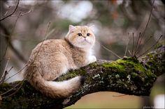 British shorthair cat by http://tessochka.livejournal.com/363944.html#cutid1