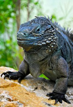 Types Of Animals, Animals Of The World, Animals And Pets, Cute Animals, Cute Reptiles, Reptiles And Amphibians, Mammals, Iguana Pet, Weird Creatures