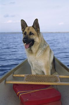http://4.bp.blogspot.com/-P2KwmXgBPDI/UD0D7ptB8iI/AAAAAAABEgs/djhvtU2dp2Q/s1600/German+Shepherd++in+a+canoe,+Mark+Raycroft,+National+Geographic..jpg  Looks very close to my pup! :)