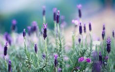 Spring has arrived in Northern Thailand in the form of this beautiful blooming lavender.