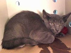 TO BE DESTROYED 7/3/14Manhattan CenterMy name is WOOFY. My Animal ID # is A1004315.I am a male gray domestic sh mix. The shelter thinks I am about 7 MONTHS old.