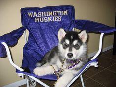 University of Washington Husky Top 10 Mascots of the 2009 NCAA Men's Basketball Tournament College Cheer, College Football, Uw Husky Football, Uw Huskies, Siberian Huskies, University Of Washington, Washington State, Purple Reign, Washington