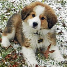 Pyreneese/Bernese mix. A fluff ball of happiness. Loving this one is a no-brainer:) Of course, I love them all! ~ Cute puppy and dog