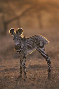 Zebra baby