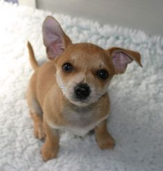 Fox Terrier Chihuahua Mix For