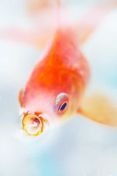 attention: we will have goldfish. their names will be gatsby, atticus, and ts eliot. three little fish to make our room the cooliest room on the floor. Hd Wallpaper Android, Free Iphone Wallpaper, Iphone Backgrounds, Iphone Wallpapers, Goldfish Wallpaper, Comet Goldfish, Animals And Pets, Cute Animals, Golden Fish