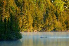 Moose taking a swim =)