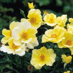 Ground hugging growth with primrose yellow flowers. Buy Worcestershire from David Austin with a 5 year guarantee and expert aftercare. David Austin Rosen, Ground Cover Roses, Rose Delivery, Small Shrubs, Types Of Roses, Shrub Roses, Primroses, Growing Roses, Planting Roses