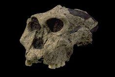 Paranthropus robustus - SK-48