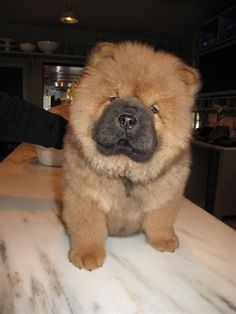 Chow chow pup <3