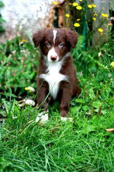Border collie puppy - a chocolate one awwww