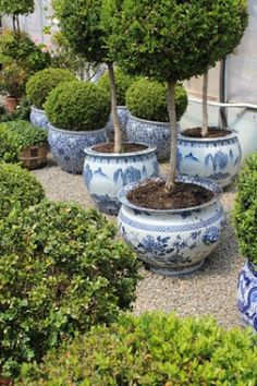 Never enough boxwoods or blue and white planters