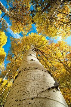 ☀autumn golden days ☀ .. X ღɱɧღ || Autumn aspens, Eastern Sierra, CA | A1 Pictures