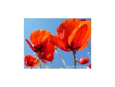"Poster ""L'escargot et les coquelicots"" 75x50cm d'une photo artistique de fleurs de coquelicots. : Photos par celinephotosartnature Photos, Posters, Painting, Etsy, Nature, Snail, Fine Art Photo, Poppies, Red"