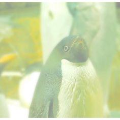【_k0t0】さんのInstagramをピンしています。 《#instagram #love #cute #fashion #favorite #l4l #f4f #japan #japanese #japanesegirl #girl #アクアリウム #animal #animals #aquarium #海遊館 #水族館 #kaiyukan #日本 #日本人 #osaka #selfie #selfies #かわいい #ペンギン #写真が好きな人と繋がりたい #ファインダー越しの私の世界 #一眼レフ #一眼レフカメラ #nikon》