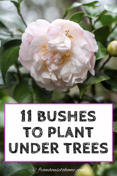 Find out which bushes to plant under trees in the shade garden in your backyard or front yard. These shrubs will help to brighten up your yard. #fromhousetohome #bushes #shade #gardeningtips #gardening #gardenideas Shade Garden Plants, Garden Trees, Garden Bed, Shaded Garden, Summer Plants, Garden Shrubs, Big Garden, Fruit Garden, Easy Garden