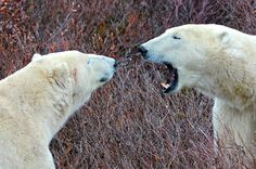 POLAR BEARS Photo Gallery- Our Favorite Polar Bear Pics From Churchill via @greengl