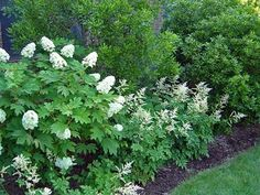 oak leaf hydrangea with white astilbe -- idea for side bed?