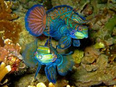 Mandarin fish by scubababe ellie, via Flickr