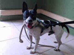 advised SFCA rescue LA OREO - ID#A5111525\r\n\r\nMy name is Oreo and I am described as a male, white and black Chihuahua - Smooth Coated\r\n\r\nThe shelter thinks I am about 3 years old.\r\n\r\nI have been at the shelter since Sep 16, 2017.\r\nBack\r\nFor more information about this animal, call:\r\nLos Angeles County Animal Control - Carson at (310) 523-9566 ID number A5111525