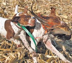 The Braques Francais (French Pointer): calm, quiet and easy-going family dogs that become hunting demons in the field