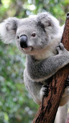 Aww Koala I have a stuffed bear just like this. Nature Animals, Animals And Pets, Beautiful Creatures, Animals Beautiful, Cute Baby Animals, Funny Animals, Funny Koala, Australian Animals, Tier Fotos