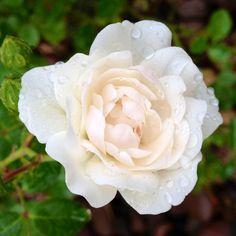 Raindrops on roses (Seafoam roses)  C'est ma vie!
