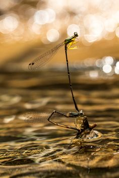 Matting damselfly - Capung Jarum Kawin