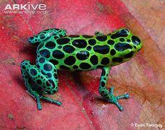 Zimmermann's poison frog videos, photos and facts - Ranitomeya variabilis Paludarium, Vivarium, Beautiful Creatures, Animals Beautiful, Animals And Pets, Cute Animals, Amazing Frog, Poison Dart Frogs, Frog Art