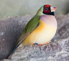 Gouldian Finch On Rock - I am obsessed with these birds!