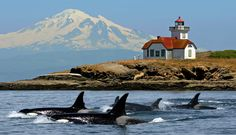 Puget Sound Orca Whale pod, one of several pods that make this area their home. San Juan Islands, Washington State