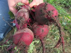 Fresh from the garden: Beets