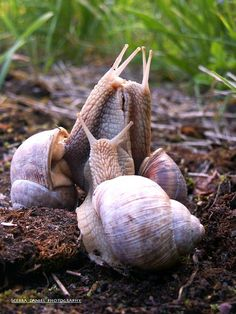 Snail love by Daniel Ščerba Beautiful Creatures, Animals Beautiful, Planeta Animal, Animals And Pets, Cute Animals, Snail Art, Snails In Garden, Snail Shell, Bugs And Insects