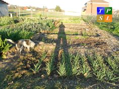 Want to see some pictures of a Cover Cropped Garden? Click below to view more pics. http://texasplantandsoillab.com/tpsl-presents-a-cover-cropped-garden/ #tpsl #ag #cornbelt #lab #agriculture #Farm #Farming #Farmers #Garden