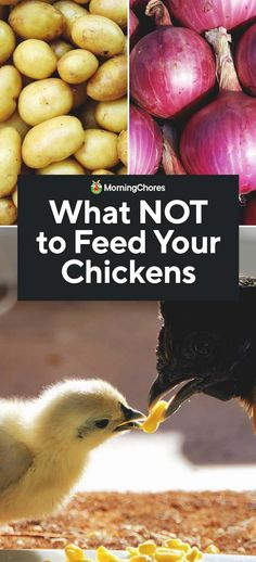 What NOT to Feed Chickens: 9 Food Your Chickens Shouldn't Eat What Can Chickens Eat, Food For Chickens, Urban Chickens, Silkie Chickens, Pet Chickens, Raising Chickens, Chicken Garden, Backyard Chicken Coops, Chickens Backyard