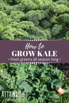 Growing kale is easy Its harvest season can last for an extended time so youll reap the benefits of this dark leafy green for months with just a single planting Consider. Fall Vegetables To Plant, Organic Vegetables, Growing Vegetables, Gardening Vegetables, Veggies, Gardening For Beginners, Gardening Tips, Kitchen Gardening, Gardening Gloves