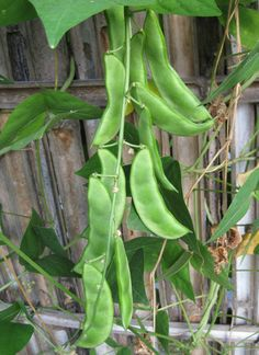 Learn about Types of Beans and Best Green Bean Varieties that are productive and grow easily not only in garden beds but in Containers as well! Growing Green Beans, Bean Varieties, Bahay Kubo, Types Of Beans, Runner Beans, Bean Seeds, Bush Beans, Poisonous Plants, Seeds For Sale
