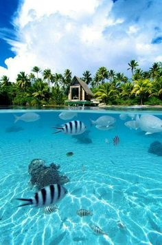 The amazing array of sea life in the lagoons of Bora Bora. There's an overwater wedding chapel at the InterContinental Thalasso Resort for those looking to get married on the island | boraboraphotos.com