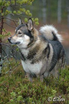 Yasni - Russkaja Laika - East Siberian, West Siberian & Russian European Laika