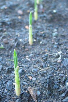 foods you can regrow: garlic