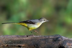 Grey wagtail by RobertoMelotti #animals #pets #fadighanemmd