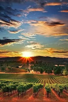 Viñedos! #NapaValley #CaliforniaSunset